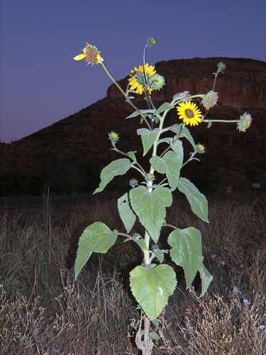 Mesa with Sunflower in Jemez New Mexio